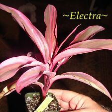 ~ELECTRA~ TI PLANT Cordyline terminalis DELUXE COLOR Foliage Small Potted Plant