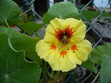 ☺10 graines de capucine peche melba nasturtium/fleur comestible