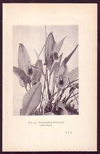 Antique Pleurothallis Punctulata Orchid Flower Botanical Art Photo Print