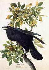 Audubon Reproductions: Watercolor Study - Common Raven -  Fine Art Print