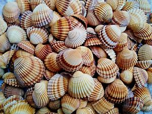 CONCHIGLIE BIVALVE ACANTHOCARDIA NATURALI MAR MEDITERRANEO NATURAL SEA SHELLS