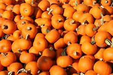 25 Seeds Small Sugar Pumpkin Perfect for Pie Seed Sale