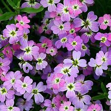 Virginia Scented Stock Flower Seeds - Classic - Bulk