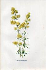 Stampa antica fiori CAGLIO ZOLFINO Galium verum botanica 1878 Old print flowers