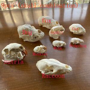9pcs combination Unique real Taxidermy Skull Collection,specimen, decorations &