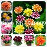Different Perennial Dahlia Flower Plants Fragrant Garden Bonsai X 100 Pcs Seeds