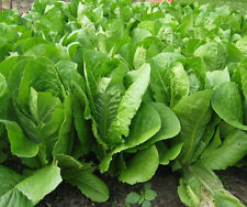 Lettuce Heirloom ROMAINE LETTUCE Parris Island Cos BULK (1/2 oz) 12,000 Seeds