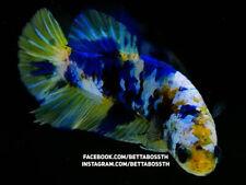 (LimitedOffer!) Premium Live Betta Fish l Female Yellow Marble Plakat
