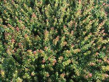 /'rame TAPPETO/' prati € 1,49 PRO ST stachelnüsschen 100 x acaena microphylla