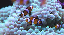 "Live Beginner Saltwater Fish - 1"" Mocha Clownfish - Captive Bred Nemo Clowns"