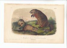 New ListingRare Octavo Audubon Quadrupeds Of America Print 1851: Maryland Marmot. 2