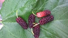 5 + Oscar Mulberry tree cuttings, fresh