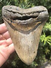 "Huge Beautiful 5.62"" Megalodon Tooth Fossil Shark Teeth Natural No Resto"