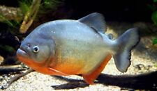 10 (ten) x Pygocentrus nattereri (Red-Bellied Piranha)