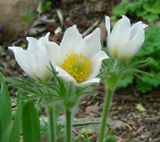 White Pasque Flower Seeds / Pulsatilla vulgaris : Fresh 2017 Seeds