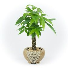 Money Tree - Indoor House Plant in a Brown Round Mosaic Planter