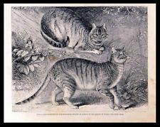 Siria Gatos presentó a la Sociedad Zoológica 1863 Victoriano Grabado origina