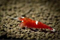 10+1 Red King Kong Live Freshwater Cariddina Shrimps Homebred Live Invertebrate.