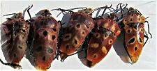 Lot of 2 Awesome Javan Hemiptera Cantao ocellatus True Insect FAST SHIP FROM USA