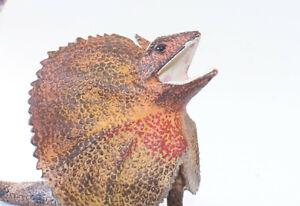 Frill Necked Lizard Replica Animals of Australia Australian Reptile Model Figure