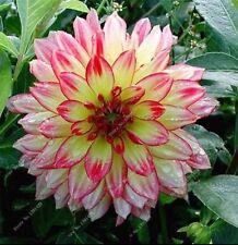 US-Seller Rare Beautiful Perennial Dahlia Flowers Seeds 20PCS(C#)