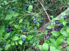 12 Wild  low bush wild Blueberry ~Edible fruit ~ -Fruit, Jelly! Bush/shrub