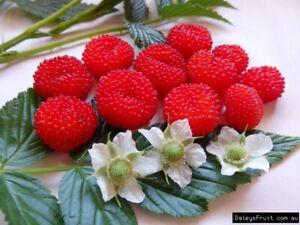 australian native raspberry -- rubus probus tasty berries --- 10 seeds