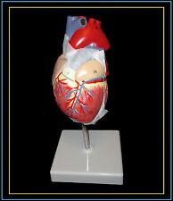 Professional Human Full Size Heart Model-UK Seller
