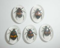 Insect Cabochon Fortune Beetle Oval 18x25 mm on white bottom 5 pieces Lot