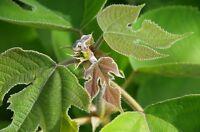 Garten Blumen Samen Rarität seltene Pflanzen schnellwüchsig PAPIERMAULBEERE