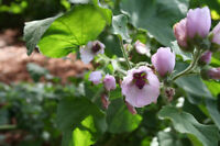 Echter Arznei Eibisch  100 Samen  Marshmallow  Heilpflanze  Wurzelgemüse