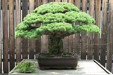 20 Seeds Bonsai Japanese White Pine Pinus parviflora Imported Bonsai Seeds