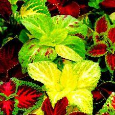 Buntnessel Coleus blumei Mischung Zierpflanze mehrjährig 250 Samen Nr.371