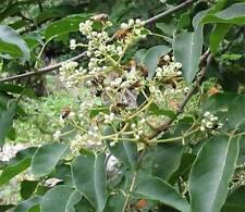 90 Tetradium Danielli Bee Tree Seeds Korean Bee Tree Container - Landscape Plant
