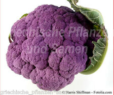 blumenkohl VIOLETTO 30 Seeds Purple Delicious Exotic Colourful Fine Vegetables