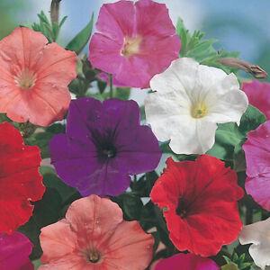 200 PETUNIA Confetti Mixed F2 SEEDS MIXED for BORDERS POTS Trailing Bushy Flower