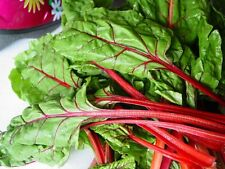 Acelga Roja tipo RUIBARBO    100 Semillas Seeds