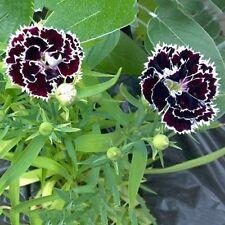 800 SEED/Pack Black Carnation Seeds Rose Dianthus Caryophyllus Flower Seeds