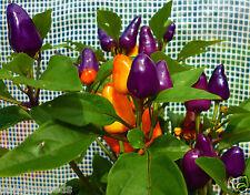 Aurora Chilli Chili Pepper Organic Seeds  Very Very Rare
