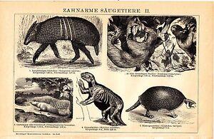 ca 1890 Toothless Mammals, Anteater, Armadillo, Sloth, Pangolin Antique Print