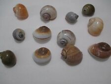 "Assorted Lot of 12 Polished 1 1/2""- 2"" Land Snail Shells Unknown Origin 035S10"