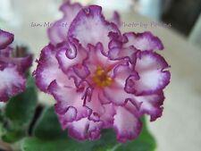 New listing African Violet Ian-Menuet Russian/Ukrainian variety plant