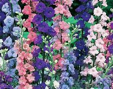 ROCKET LARKSPUR  100 FRESH SEEDS FREE SHIPPING