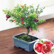 Bonsai Pomegranate Very Sweet Delicious Fruit Bonsai Succulent Tree Bonsai Seeds
