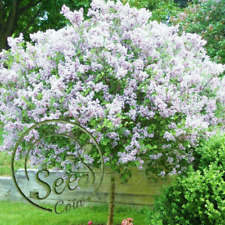 White Japanese Lilac Bonsai Clove Home Seed Garden Plant Beautiful 100Pcs Flower