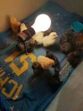 New Listing6 Fresh And Fertile Chicken Hatching Eggs Ayam Cemani Mix