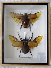 PAIR of HERCULES BEETLES (EUPATORUS GRACILICORNIS) 5-HORNED RHINO INSECT - WINGS