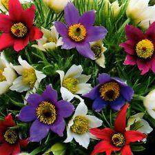 Küchenschelle Mix Blumen Stauden Beete Steingarten Pflanze 30 Samen Nr.309