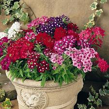Verbena Seed 30 Trailing Verbena Flowers Mix Color Popular Plant Fc