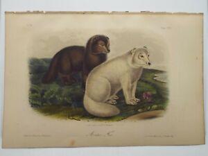Audubon Quadrupeds  Print Volume 3 1854 Arctic Fox Plate CXXI